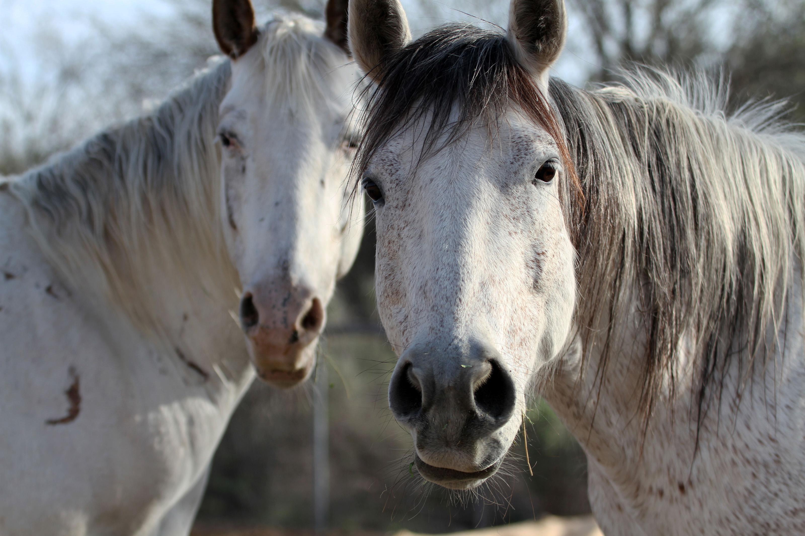 white horses photography